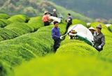 春茶保卫战进行时:疫情防控、春茶生产两不误